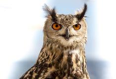 Eagle Owl. Eagle Owl focusing on a prey. Photo taken on January, 2014 Royalty Free Stock Photo