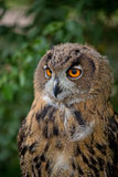 Eagle-owl in the forest, a portrait Stock Photos