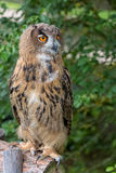 Eagle-owl in the forest Stock Photos