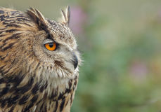Eagle owl frown Stock Image