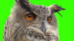 Eagle owl stock footage