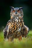Eagle Owl, großer nächtlicher Vogel im Wald, Norwegen Lizenzfreie Stockfotos