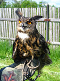 Eagle owl in the hand Royalty Free Stock Images