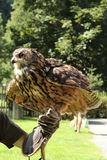 Eagle owl and hand. Bird of prey with spread wing royalty free stock photos