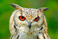 Eagle owl head Royalty Free Stock Images