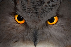 Eagle owl. The head of an eagle owl close up with mystical eyes Royalty Free Stock Image