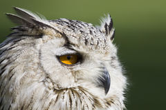 Eagle owl head Stock Photo