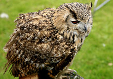 Eagle Owl. Stock Photography