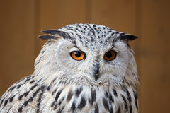 Eagle owl with his big and beautiful oranges eyes Stock Image