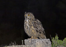 Eagle owl. In his natural habitat. Hard to see Royalty Free Stock Image
