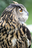 Eagle Owl hunting Stock Image