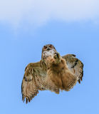 Eagle Owl hunting in flight Royalty Free Stock Images