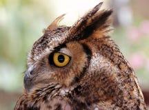 Eagle-Owl Stock Image