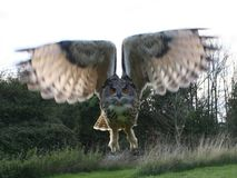 Eagle owl magnificent Taking off stock photos