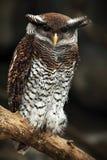 Eagle Owl interdit, sumatranus de Bubo, Malaisie photographie stock