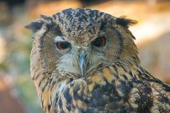 Eagle-owl. Owl irritated awakening from a nap Royalty Free Stock Image