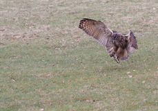 Eagle Owl landing Royalty Free Stock Photos