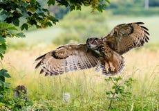 Eagle Owl Landing Lizenzfreie Stockfotos