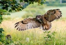 Eagle Owl Landing Royalty Free Stock Photo