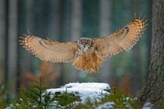 Eagle owl landing on snowy tree stump in forest. Flying Eagle owl with open wings in habitat with trees, bird fly. Action winter s. Cene from nature, wildlige royalty free stock photography