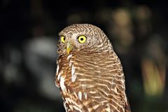 Eagle owl with large round yellow eyes perched in. A tree Stock Images