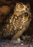 Eagle Owl. Lookin intensely directly into the camera royalty free stock photo