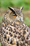Eagle owl looking backward Royalty Free Stock Photos