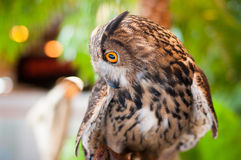 Eagle owl looking sideways Royalty Free Stock Photography