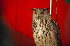 Eagle owl looking to front Royalty Free Stock Image