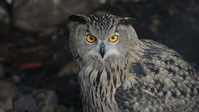 Eagle Owl. Looking turning head