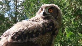 Eurasian Eagle owl- low angle. Eagle owl low angle shot stock footage
