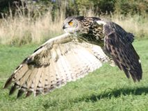 Eagle owl magnificent with wings spread. Eagle owl with intent gaze preparing to land, shot in Gloucester UK 2018 royalty free stock image