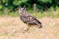 Eagle owl in a meadow Stock Photography