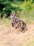 Eagle owl in a meadow Royalty Free Stock Image