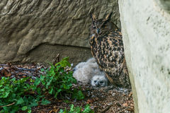 Eagle-owl with at the nest Royalty Free Stock Photo