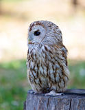 Eagle owl - a night predator Stock Image