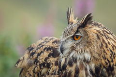Eagle owl over the shoulder look Stock Photos
