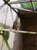 Eagle Owl on a perch Stock Images