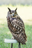 Eagle owl perched Royalty Free Stock Image