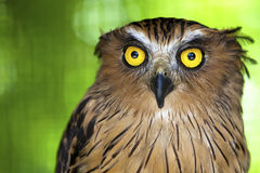 Eagle owl with piercing eyes. Royalty Free Stock Photo