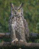 Eagle owl with piercing eyes Royalty Free Stock Image