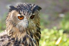Eagle Owl Portrait 1 Stock Photos