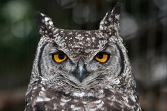 Eagle Owl Portrait Royalty Free Stock Photo