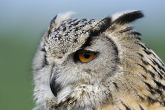Eagle owl portrait Royalty Free Stock Photos