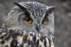 Eagle owl. Portrait of an Eagle owl stock photography