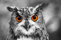 Eagle Owl Portrait Fotografía de archivo libre de regalías