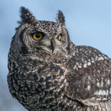 Eagle Owl Portrait Royaltyfria Foton