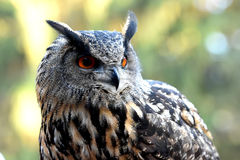 Eagle owl Royalty Free Stock Photo