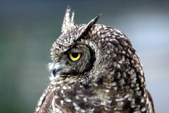 Eagle Owl Portrait Stock Photo
