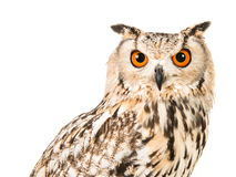 Eagle Owl Portrait Royaltyfria Bilder